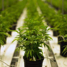 best place to buy marijuana seeds